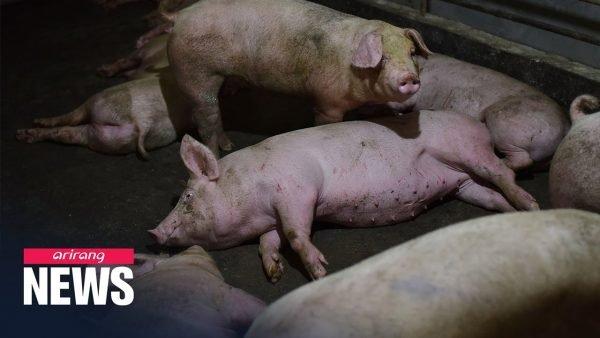 New strain of swine flu found in China – ARIRANG NEWS